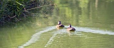 Бразильское заплывание teal в зеленоватом озере Стоковые Фото