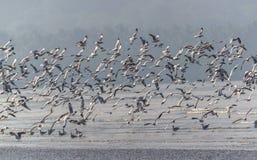 Брайн возглавил чайку - brunnicephalus Chroicocephalus Стоковое Изображение
