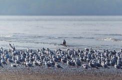 Брайн возглавил чайку - brunnicephalus Chroicocephalus Стоковая Фотография