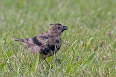 Брайн-головый Cowbird, ater Molothrus, moulting стоковые изображения rf