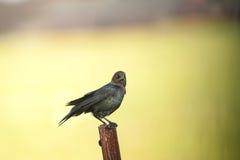 Брайн-головый визуальный контакт Cowbird стоковая фотография rf