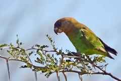 Брайн-головый попугай (cryptoxanthus Poicephalius) стоковая фотография rf