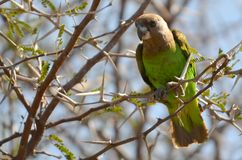 Брайн-головый попугай (cryptoxanthus Poicephalius) стоковые фотографии rf