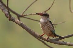Брайн-головый Kingfisher рая (danae Tanysiptera) Стоковые Изображения