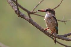 Брайн-головый Kingfisher рая (danae Tanysiptera) Стоковое Изображение RF