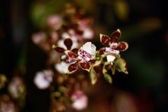 Брайн и белая орхидея Стоковые Фото