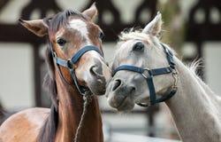 Брайн и белая лошадь в влюбленности Стоковая Фотография