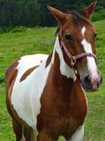 Брайн и белая лошадь Стоковое Изображение RF