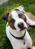 Брайн и белая собака стоковые фотографии rf