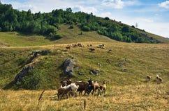 Брайн и белые козы на луге на дне лета солнечном, донимают плато Стоковые Изображения RF