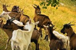 Брайн и белые козы на луге на дне лета солнечном, донимают плато Стоковое Изображение
