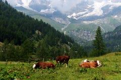 Брайн и корова белизны в выгоне Стоковое Изображение