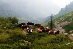 Брайн и корова белизны в выгоне Стоковые Фото