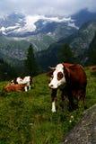 Брайн и корова белизны в выгоне Стоковое Изображение RF