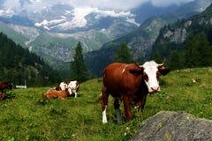 Брайн и корова белизны в выгоне Стоковые Изображения