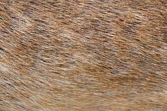 Брайн кожи и меха животных Стоковая Фотография