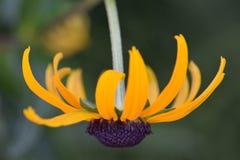 Брайн наблюдал профиль 03 цветка Сьюзана Стоковые Фотографии RF
