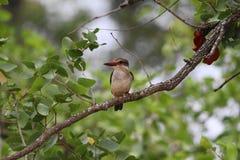 Брайн-с капюшоном Kingfisher Стоковое Изображение