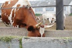 Брайн с коровой белых пятен доя ест питание на ферме коровы Стоковые Фото