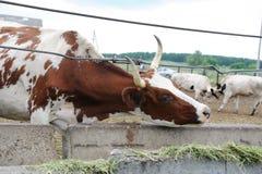 Брайн с коровой белых пятен доя ест питание на ферме коровы Стоковое Фото