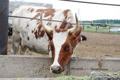 Брайн с коровой белых пятен доя ест питание на ферме коровы Стоковое Изображение RF