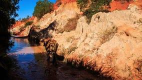 Брайн Bull идет от каменистого банка к Fairy воде потока видеоматериал