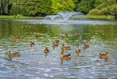 Брайн ducks заплывание в парке города стоковое фото