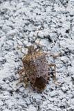 Брайн marmorated черепашка вони Стоковое фото RF