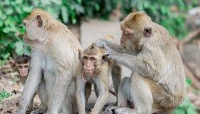Брайн monkeys счастливая семья стоковое изображение rf