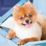Брайн Pomeranian Стоковые Изображения RF