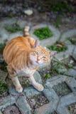 Брайн striped кот продавая его милое Стоковые Фото