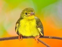 Брайн-throated sunbird Стоковое Фото