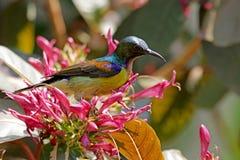 Брайн-throated sunbird Стоковые Изображения RF