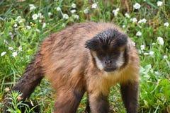 Брайн tufted мужчина обезьяны capuchin в зеленой траве Стоковые Изображения RF