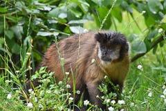 Брайн tufted мужчина обезьяны capuchin в зеленой траве Стоковая Фотография RF