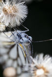 Брайн Veined белая бабочка Стоковое фото RF