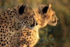 Братья гепарда Стоковое Фото
