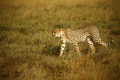 Братья гепарда Стоковое фото RF