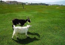 Братья козы Стоковое Фото