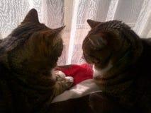 Братья кота Tabby Стоковые Фото