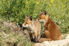 Братья красной лисы Стоковые Изображения RF