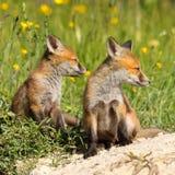 Братья красной лисы Стоковые Изображения