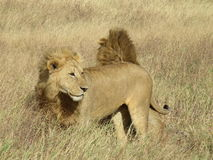 Братья льва в национальном парке Serengeti, Танзании Стоковые Изображения RF