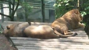 Братья льва Стоковое Изображение