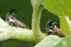 2 брать имеют его (странное treehopper) Стоковое Изображение RF
