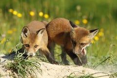 2 брать лисы играя перед вертепом Стоковая Фотография