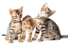 3 брать котенок, портрет на белизне Стоковые Фото