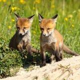 2 брать красных лисы около рыть Стоковые Изображения