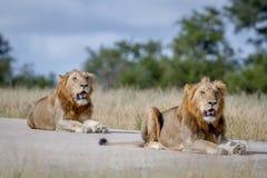 2 брать льва на дороге Стоковые Фото