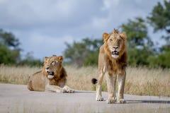 2 брать льва на дороге Стоковая Фотография RF